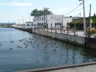 Ducks and geese in the Harbor