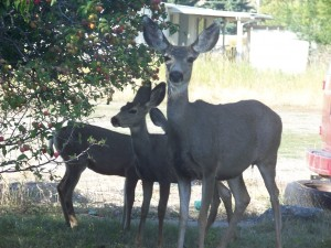 Photo of a Doe and her Fawns