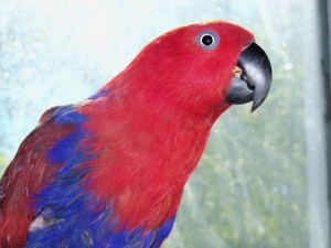 Ecclectus Parrot