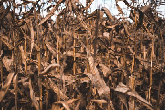 Photo by Keagan Henman on Unsplash dried crop