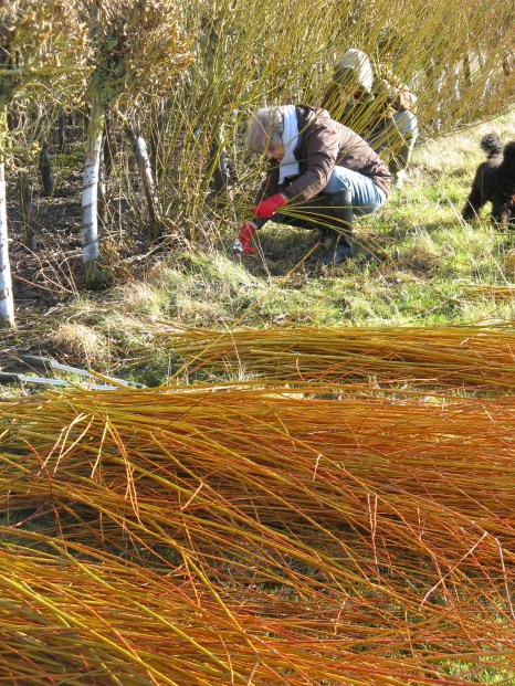 Harvesting willow