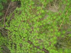 larch branch