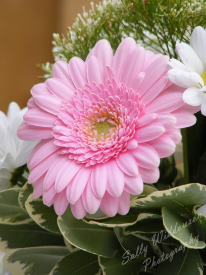 close up of pale pink gerbera flower from a bouquet with varigated foliage and white daisys
