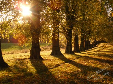 an avenue of autumn trees back-lit by sunlight through the leaves