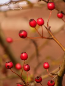 close up of red autumn berries