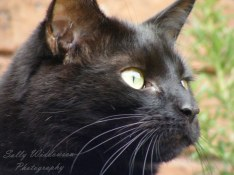 Portrait of Alert black cat with green eyes in profile gorgeous whiskers