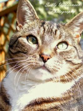 Handsome tabby cat portrait in sunshine for pet photoshoot