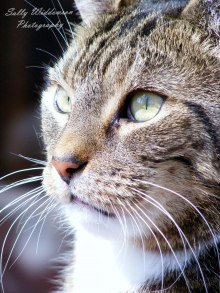 Close up portrait of tabby cat with beautiful whiskers for pet photography session