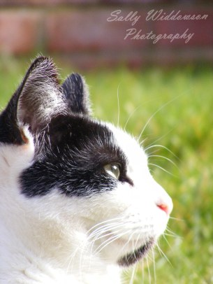 Portrait of black and white cat looking up in profile for pet photoshoot