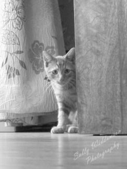 Monochrome cute ginger kitten hiding behind cupboard peeking round the corner