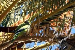 green ring necked parakeet parrot parc guell barcelona