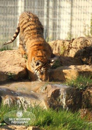 Sally Widdowson Photography amur tiger cub drinking Yorkshire Wildlife Park