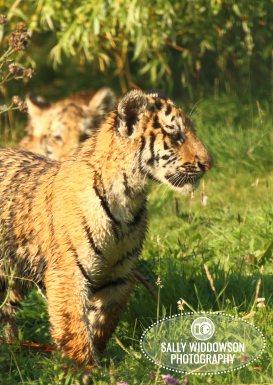 Sally Widdowson Photography amur tiger cub profile Yorkshire Wildlife Park