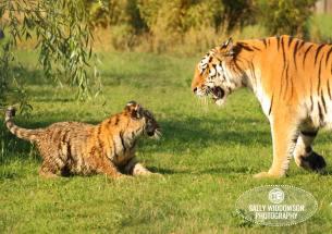 Sally Widdowson Photography amur tiger cub playing with mum Yorkshire Wildlife Park