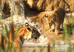 Sally Widdowson Photography amur tiger cub by pool with mother Yorkshire Wildlife Park