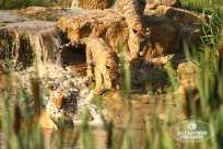 Sally Widdowson Photography amur tiger cubs by pool Yorkshire Wildlife Park
