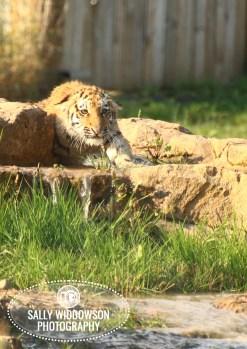 Sally Widdowson Photography amur tiger cub hunting Yorkshire Wildlife Park