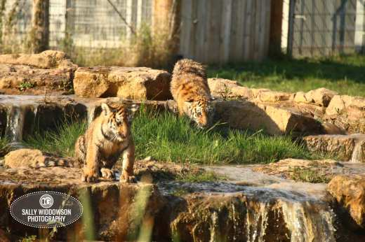 Sally Widdowson Photography amur tiger cubs by waterfall sitting and hunting Yorkshire Wildlife Park