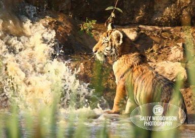 Sally Widdowson Photography amur tiger cub by pool Yorkshire Wildlife Park