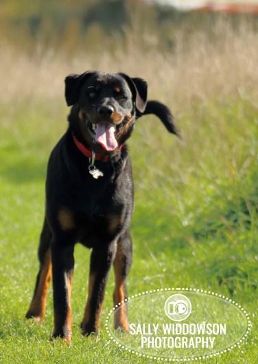 Roo Proctor doberman dog Sally Widdowson Photography