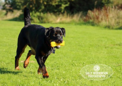 Roo Proctor doberman dog action shot carrying yellow bone squeaky toy Sally Widdowson Photography