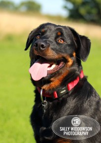 Roo Proctor doberman dog portrait head shot tongue out Sally Widdowson Photography