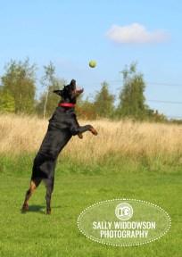 Roo Proctor doberman dog action shot jumping catch tennis ball Sally Widdowson Photography