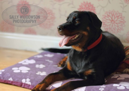Roo Proctor doberman dog lying on bed front view Sally Widdowson Photography