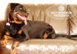 Roo Proctor doberman dog full length lying on brown leather sofa couch setteeSally Widdowson Photography