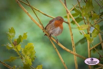 cute fat robin sat on twig branch holly tree bush greenery Sally Widdowson Photography