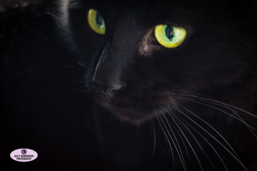 striking black cat green eyes Max close up handsome beautiful whiskers Sally Widdowson Photography