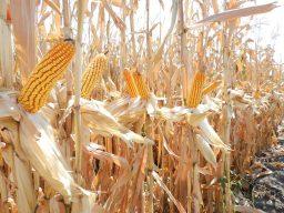 maíz-y-sorgo-3-1024x768
