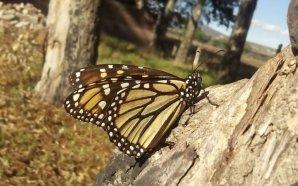 Aumenta monitoreo de la Mariposa Monarca en la entidad