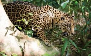 Crece población de jaguares en México… aún sigue en peligro…