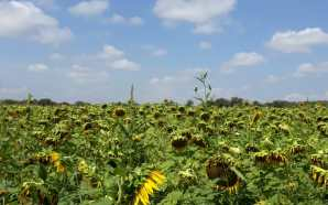 Promueven cultivo de girasol por su alta rentabilidad