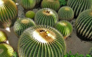 Consumo de acitrón pone en peligro de extinción a cactus…
