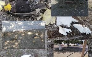CONTINÚAN APARECIENDO AVES MUERTAS EN LA MANCHA URBANA DE SALAMANCA