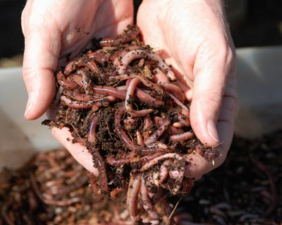 vermicomposting in schools