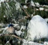 A bluebird in winter