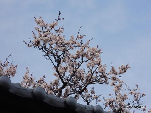 旧遠藤又兵衛邸の桜