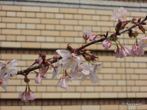 小樽警察の桜