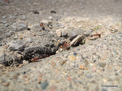 赤井川村の赤い蟻