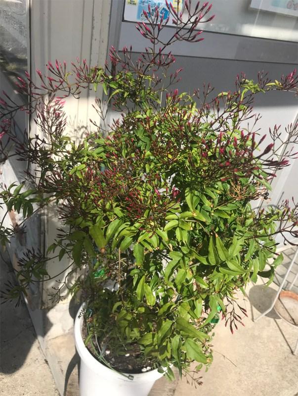 花芽がいっぱいの鉢植えハゴロモジャスミン