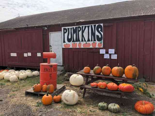 Seaside pumpkin patch