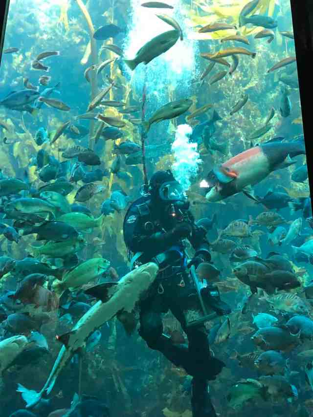 scuba diver in kelp forest at the monterey bay aquarium