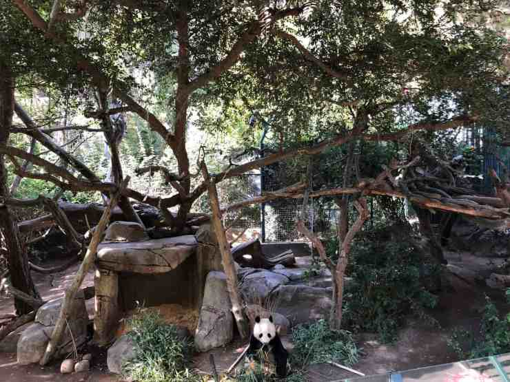 sitting panda at the san diego zoo eating bamboo. The zoo is a fun things to do in san diego with kids!