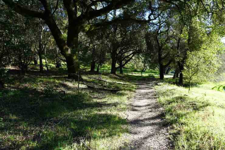 narrow dirt trail going through a grove of oak trees in Quail Hollow Ranch in Felton CA