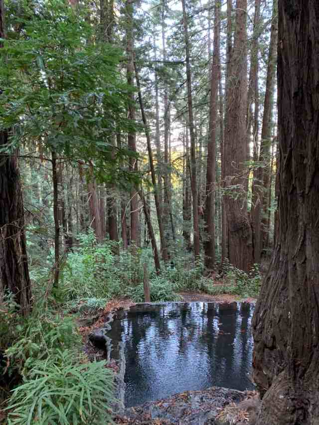 A square cement koi pond in a redwood forest in Santa Cruz, CA. Hiking to the koi pond in Pogonip Park is a magical experience.
