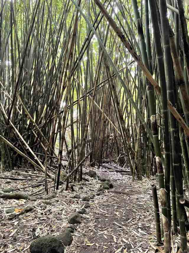 bamboo forest on 3 coconuts hike moorea
