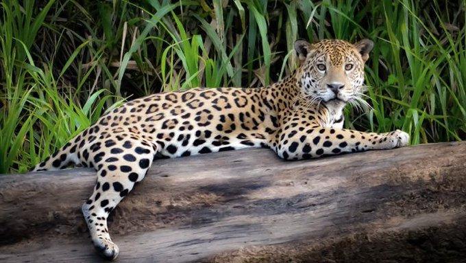 Buscan la conservación del yaguareté en Brasil, Paraguay y Argentina